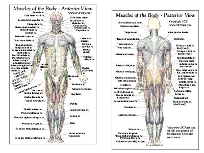 muscles of anterior and posterior aspect of the human bodyAnatomy Of Human Body Muscles