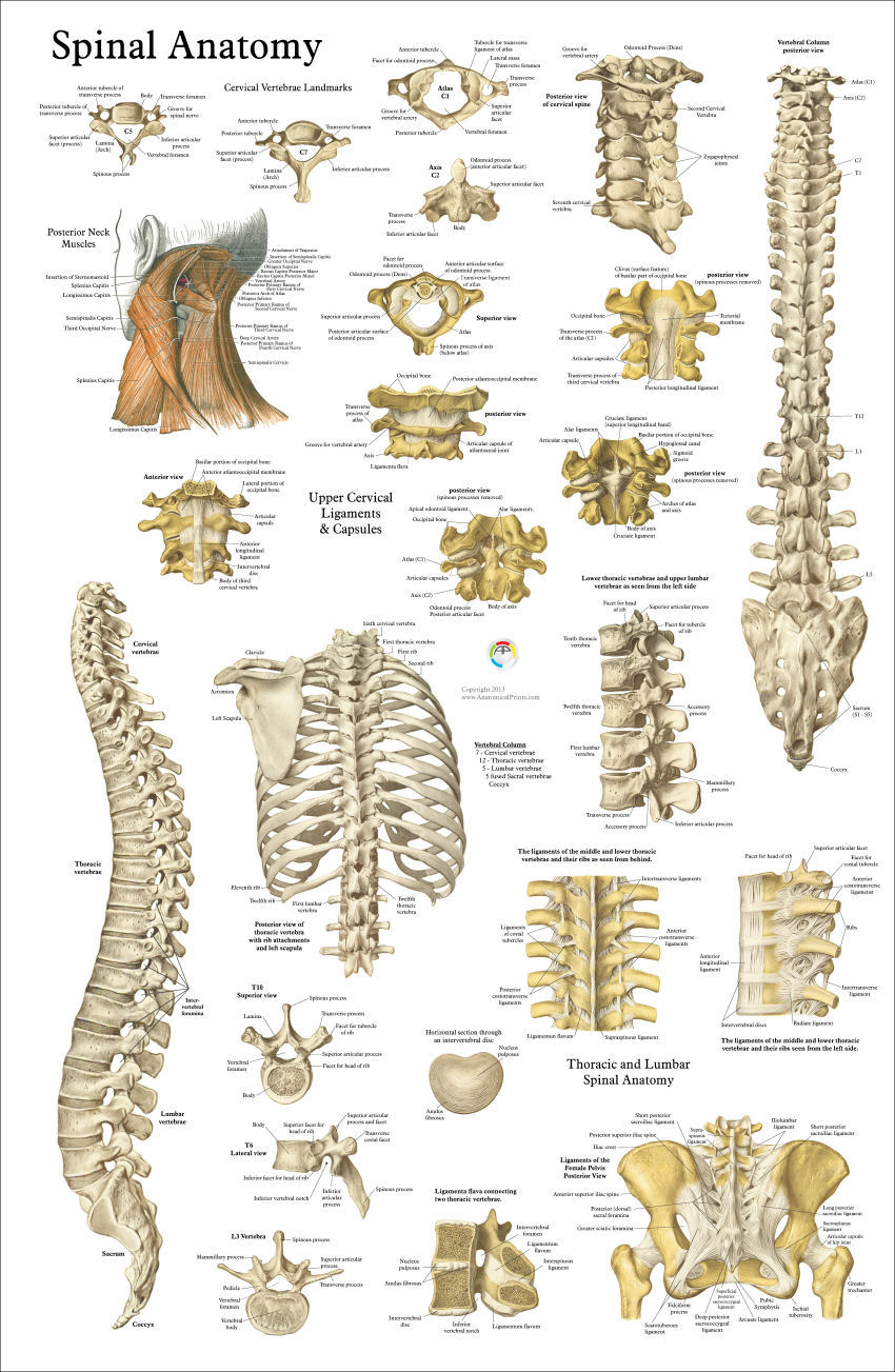 Human Spine Anatomy Poster