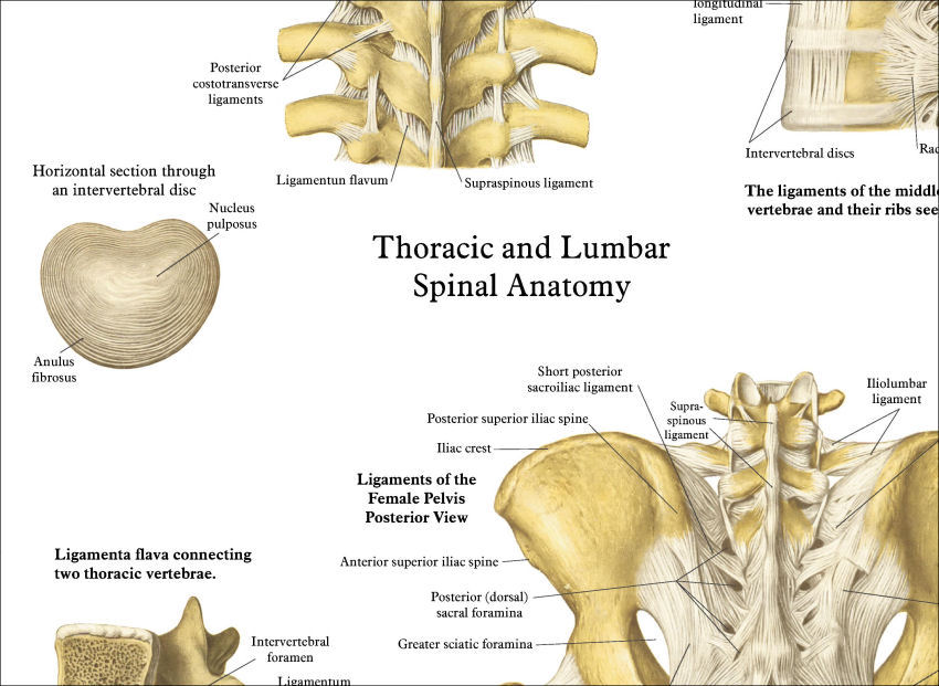 Spinal Anatomy Chart