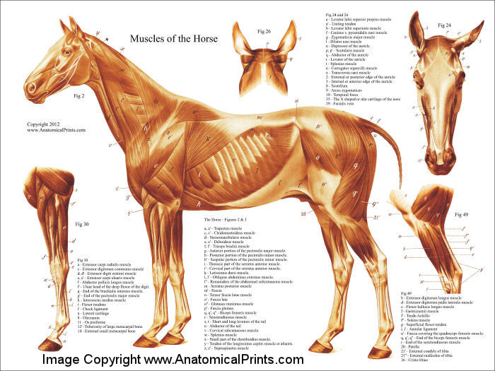Horse Muscular Anatomy Poster