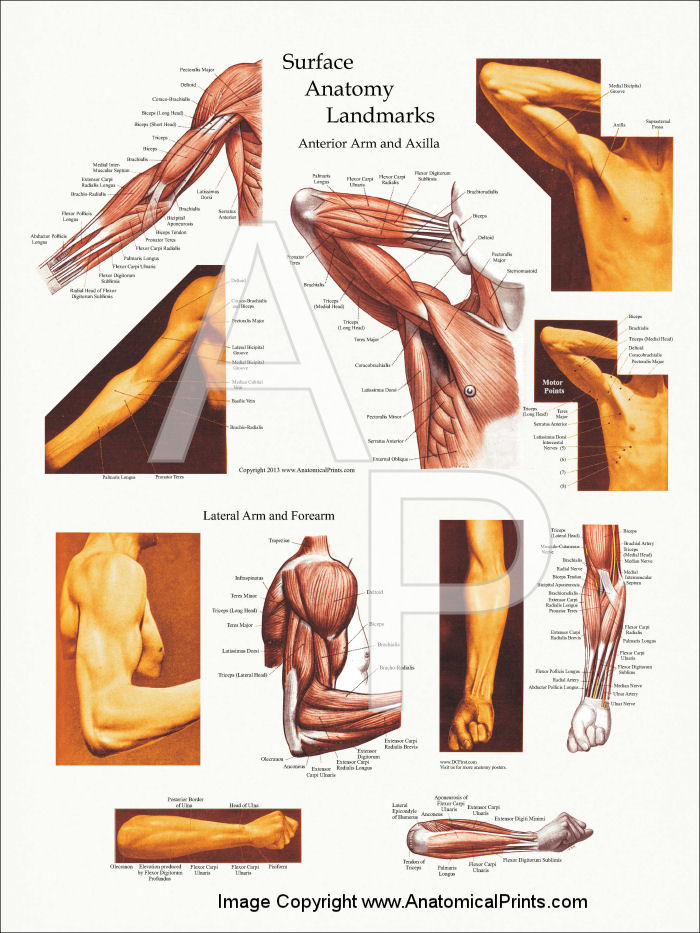 Surface anatomy of arm