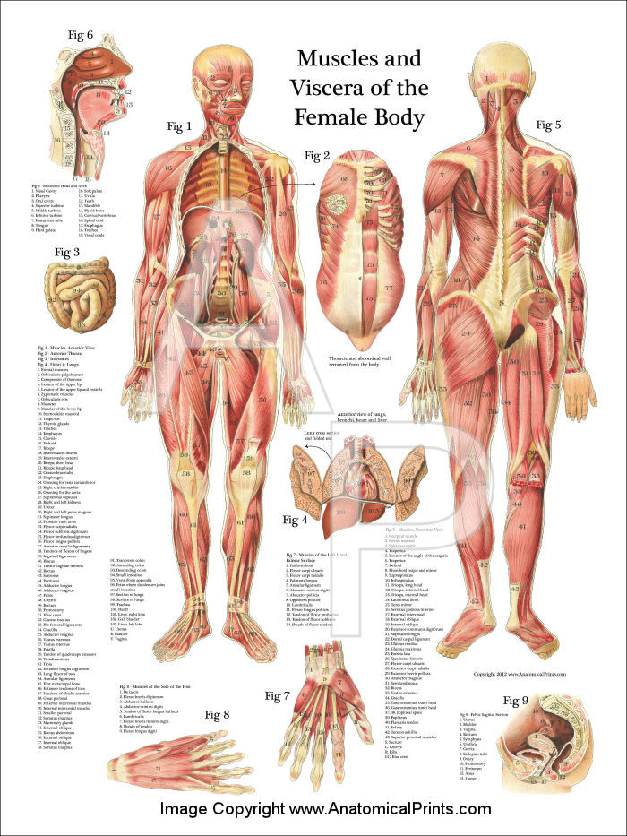 Muscles and Viscera of the Female