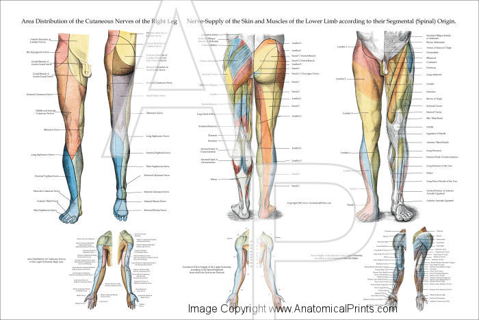 Nerve Innervation of Lower Extremities Poster