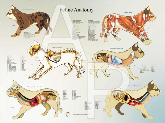 Cat Anatomy Poster