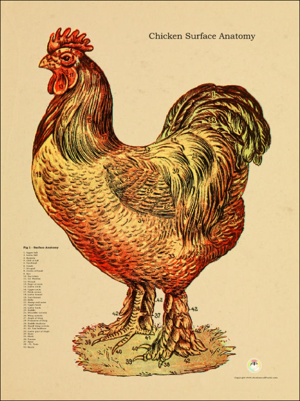 Chicken Anatomy Poster