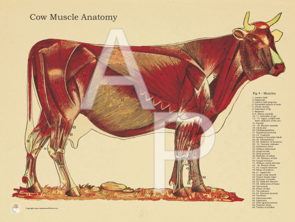 Cow Muscle Anatomy Poster